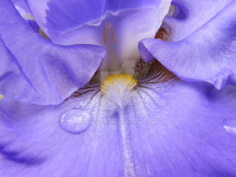 Iris Closeup 2 by NoxieArt