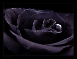 :: Dark rose :: by Liek