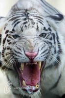 Angry White Tiger by fahadee