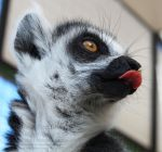 Cheeky Lemur by AndrewFletcher