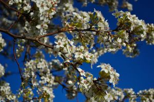 Blossoms 3 by AppareilPhotoGarcon