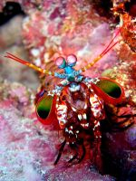 Mantis shrimp 4 by yaq1xsw2