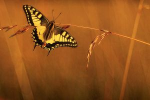 Continental Swallowtail (Papilio machaon) by marekfiser