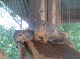 Fox Squirrels 1a by Windthin