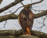 Red-tailed Hawk by Gingastar18