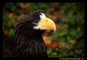 Stellers Sea Eagle II by TVD-Photography