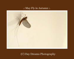 .:May Fly in Autumn:. by DayDreamsPhotography
