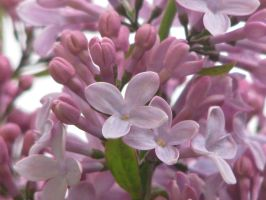 Early Lilacs by skbrainstorm42