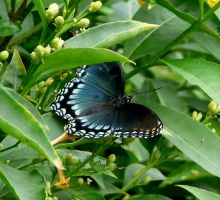Red-spotted Purple.... by duggiehoo
