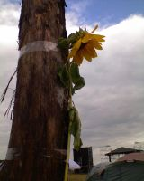 Sunflower by Woolfred