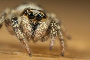 Cute Jumping Spider 4 by Alliec