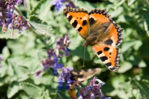 Small Tortoiseshell by duncan-blues