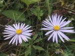 Aster amellus by mossagateturtle