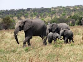 Cute Attack with Baby Elephants by Track-Maidens