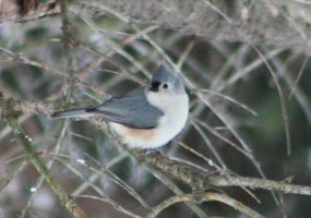 Titmouse 4 by SilverDragonMaiden