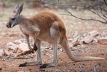 Young Red Kangaroo by 88-Lawstock