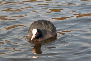 water bird 2 by priesteres-stock