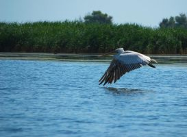 Pelican hovering over the water by pvf