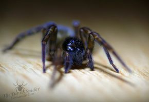Amaurobius fenestralis - close up by TheFunnySpider