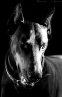 DOBERMANN ,. by Sharpcut