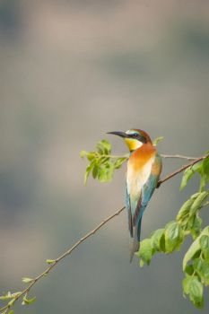 European bee-eater by rat-or-rat