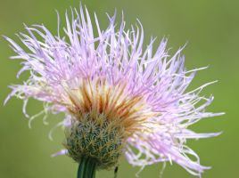 Thistle Light by donnasueb