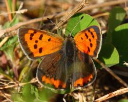 American Copper Butterfly 2 by natureguy