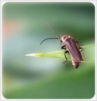 Lightning Bug by barefootphotos