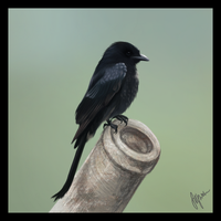 Drongo by barn-swallow