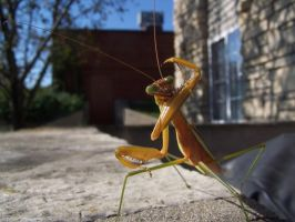 Praying Mantis by Npm98