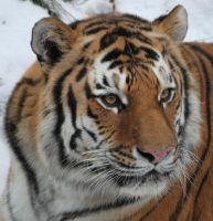 Portrait of a Tiger by bejeweledhope