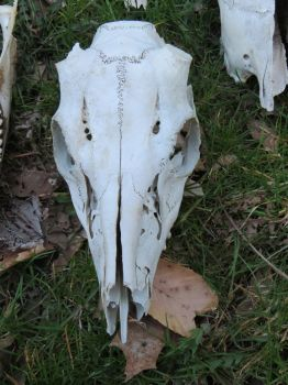 Whitetail Deer Skull Stock 9651 by sUpErWoLf--StOcK