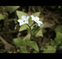 Forget Me Not by Xcetera