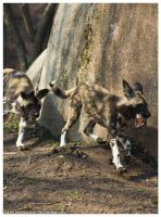 African Wild Dog - Pups 030 by ShineOverShadow