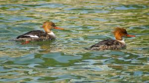 Red Breasted Mergansers by Fail-Avenger