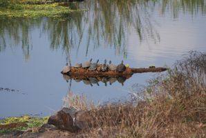 Row of Turtles by krazy3