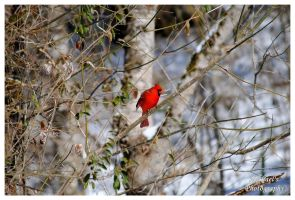 A Male Northern Cardinal by TheMan268