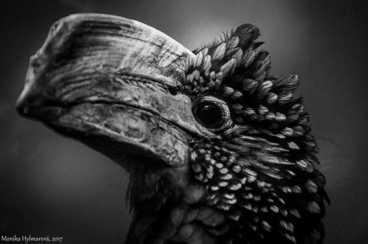 Silvery-cheeked Hornbill by amrodel