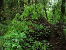 Redwood Forest 9 by Cynnalia-Stock