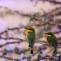 Bee Eaters by pinballwitch