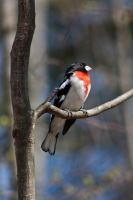 Rose-Breasted Grosbeak by suspy