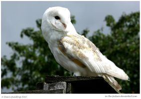 Barn Owl View by In-the-picture