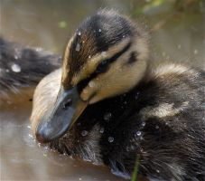 Ducklings by 4Angylsphotography