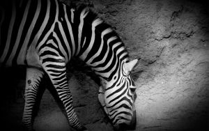 ZEBRA WALL by PSRADICH