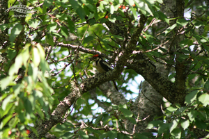 Great spotted woodpecker by Dibobah