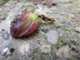 Wasp eating grapes 2 by MajcheZmajche