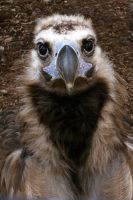 Eurasian Black Vulture aka Cinereous Vulture by Ironpaw