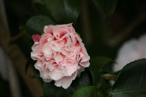 awesome filled camellia by ingeline-art