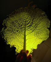 Cabbage leaf by its-EMIL-again