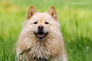 Tekla the Finnish Lapphund by IkarosPhotography